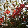 Japanese Quince (Chaenomales)