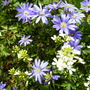 Anemone Blanda with white Arabis