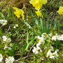 White Chaenomales with daffs