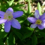 Anemone_nemorosa_royal_blue_2017