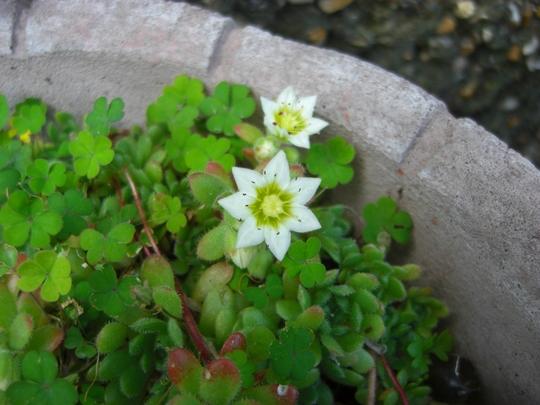 The_alpines_are_flowering_1.jpg