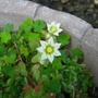 The_alpines_are_flowering_1