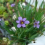 The Alpines are flowering