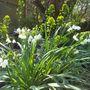 Leucojum aestivum (Leucojum aestivum (Loddon Lily))