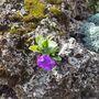 Primula marginata 'Freedom' (Primula marginata (Marginate Primrose))