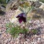 Pulsatilla vulgaris 'Eva Constance' (Primula vulgaris)