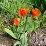 Tulipa_praestans_fusilier_2017