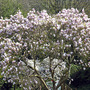 magnolia Soulangeana  with another M. Stellata behind it