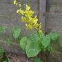 Epimedium pinnatum