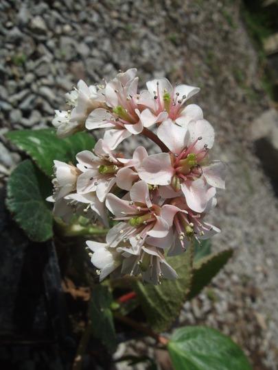 Bergenia ciliata (Bergenia ciliata)