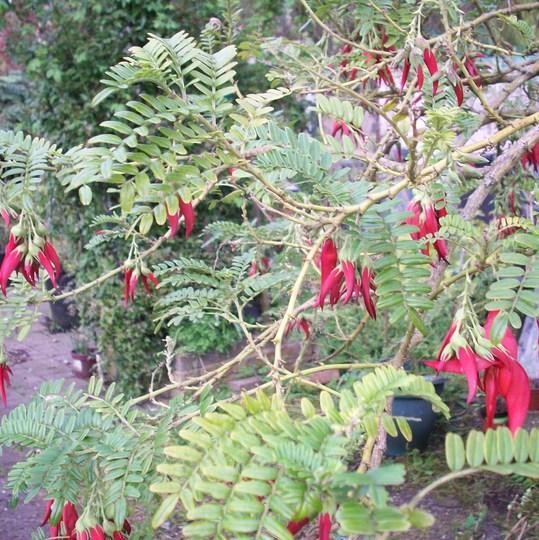 Clianthus puniceous 30/3/17