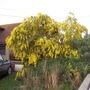 Acacia pravissima (Acacia pravissima)