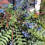 Mahonia aquifolium (Oregon grape)