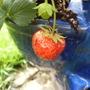 yeaaaaaaaaa  more strawberries