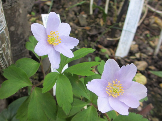Anemone nemerosa (for my file) (Anemone nemorosa (Windflower))