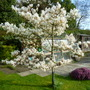 Amelanchier in blossom