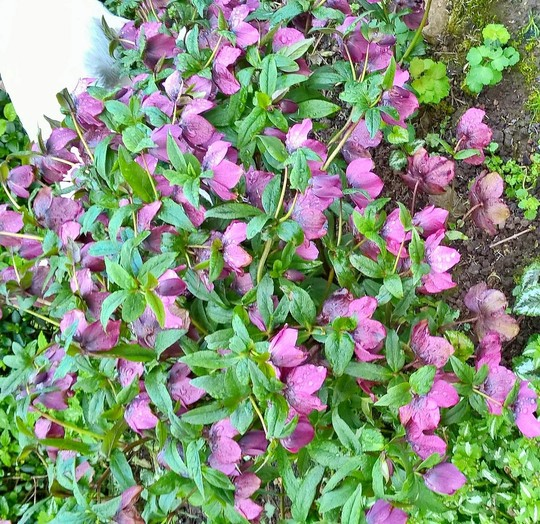 Hellebore Atrorubens (Helleborus Atrorubens)