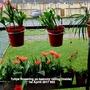 Tulips_flowering_on_balcony_railing_inside_1st_aprril_2017_002