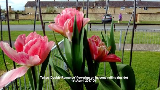 Tulips Double Romance flowering on balcony railing inside 1st April 2017 001 (Tulipa polychroma)