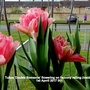 Tulips Double Romance flowering on balcony railing inside 1st April 2017 001 (Tulipa polychroma)