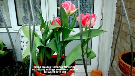 Tulips Double Romance flowering on balcony railings seen from outside 1st April 2017 001 (Tulipa polychroma)