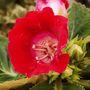 Sinningia speciosa (Gloxinia) (Sinningia speciosa)