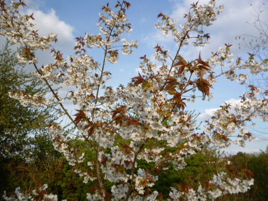 Great White Cherry . . . my favourite :)
