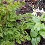 Erythronium californicum White Beauty