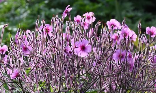 Geranium maderense (Geranium maderense (Cranesbill))