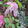 Clematis 'Rosy Pagoda' update for my file (Clematis alpina (Alpina Group clematis))