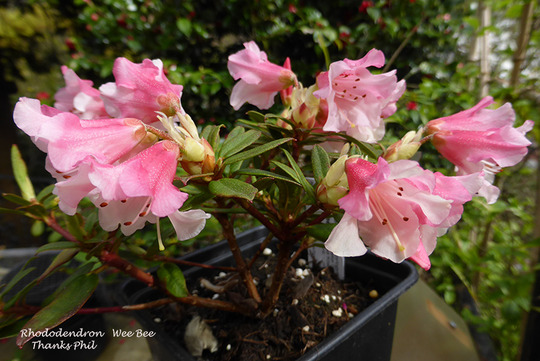 Rhododendron Wee Bee