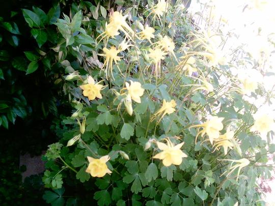 Yellow Columbine (Aquilegia)