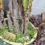 Kenilworth Ivy sprouts under Euphorbia trigona. (Cymbalaria muralis (Coliseum Ivy))