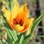 My new treasure! Tulipa praestans 'Shogun' (Tulipa praestans)