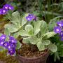 Primula marginata hybrid 'Mauve Mist' (Primula marginata (Marginate Primrose))