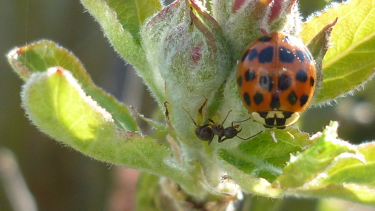 Apple blossom with ladybird and ant.