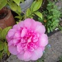 Camellia Japonica Debbie