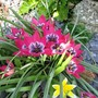 Tulip humilis. (Tulipa humilis (Tulip))