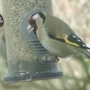 Seen yesterday on the feeder. (Goldfinches.)