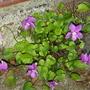 Viola rosea.