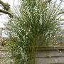 Cytisus albus (White Spanish Broom) (Cytisus multiflorus (White Spanish Broom))