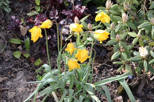 Tulipa sylvestris (Tulipa sylvestris (Wild Tulip))