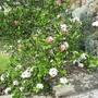 Front garden Viburnum (Viburnum tinus)