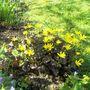 Ranunculus ficaria (Blameye)