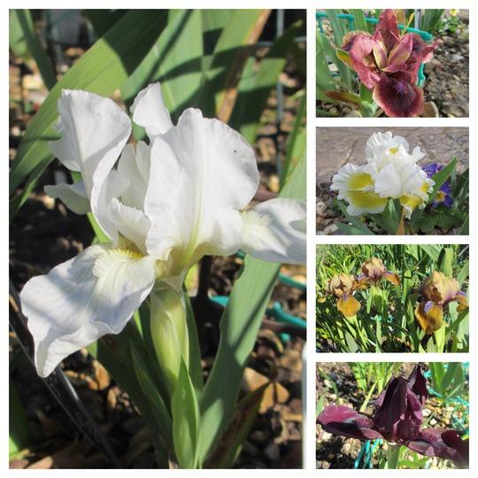 Snow White and 4 Dwarfs (Iris pumila (Dwarf Flag))
