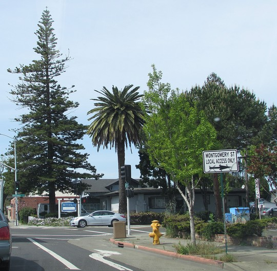 A couple of blocks from the last photo.. (Araucaria heterophylla (House Pine))