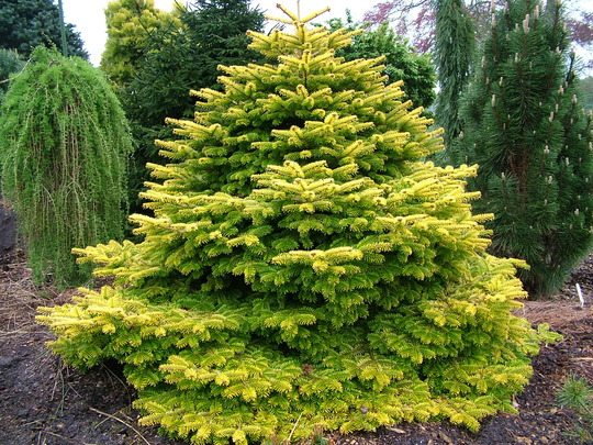 Abies nordmaniana Golden Spreader (Abies nordmanniana)