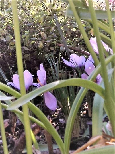 Saffron Crocus (for my records) (Crocus sativus (Saffron Crocus))