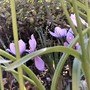 Saffron Crocus (for my records) (Crocus sativus (Saffron Crocus))