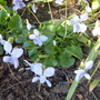 Viola sororia 'Freckles' (Viola sororia)